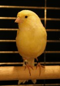 The Canary: The Perfect Cheerful Companion