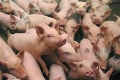 Of Piglets & Apocalyptic Nightmares