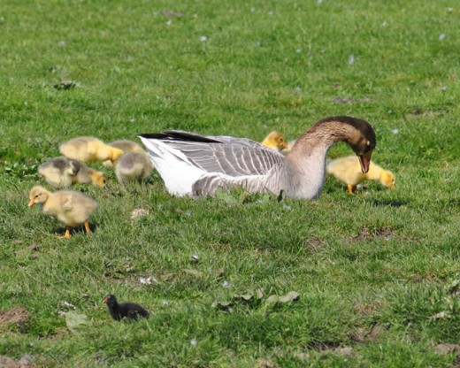 Female China goose and goslings - did you spot the tiny moorhen chick in the foreground?