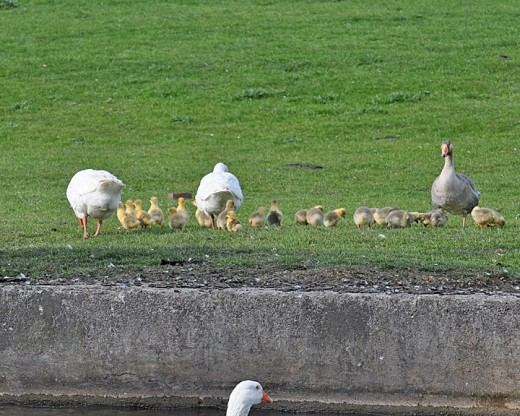 Geese and goslings.  One adult goose is always on guard
