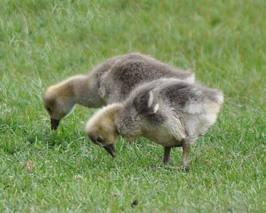 Tiny goslings with black beaks