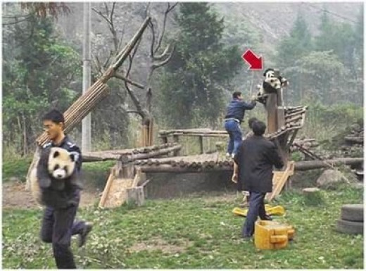 People saving pandas
