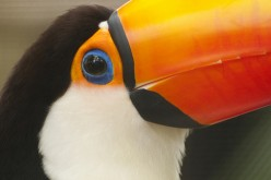 Toucans: One of the Most Interesting and Amazing Birds