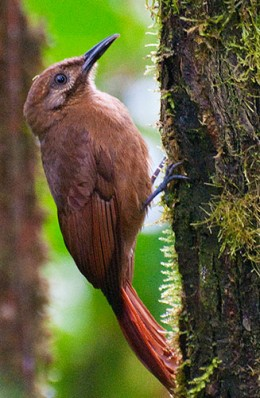Plain-brown Woodcreeper (Dendrocincla fuliginosa)