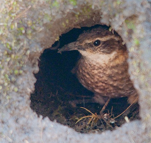 Stout-billed Cinclodes in Burrow