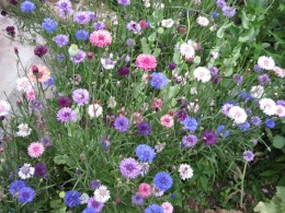 Cornflowers (click to view full size)