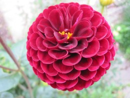 Dahlia (click to view full size)