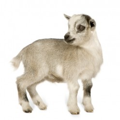 Pygmy Goat Basics