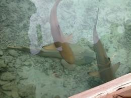 Sharks and stingray in captivity.