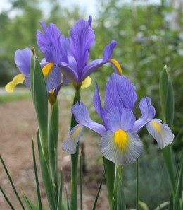 Beardless irises lack the fuzzy, caterpillar-like ridges on their lower petals that characterize the bearded varieties.