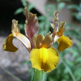 Liked bearded irises, beardless varieties come in a variety of colors.
