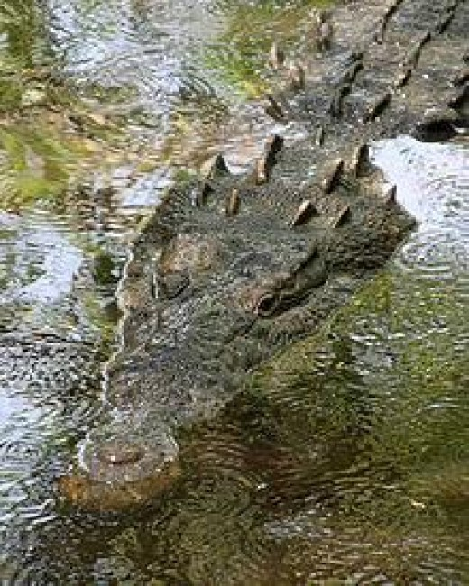 Crocodile on the surface