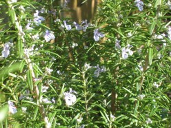 How to Use Rosemary In Your Cooking