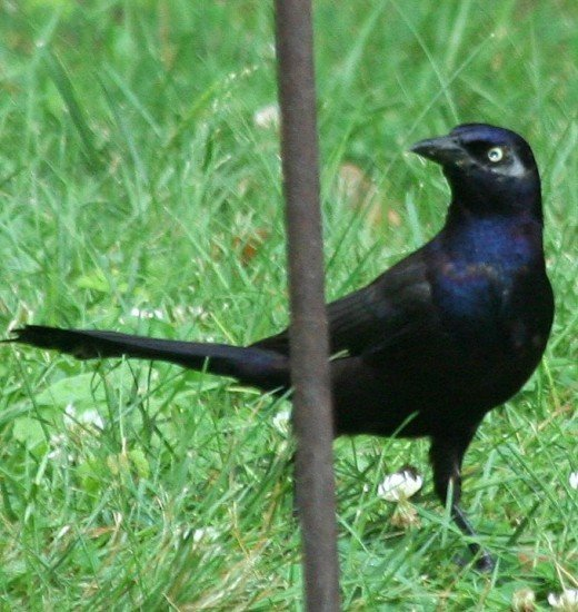 Common Grackle (male) Photo: M. Crosby