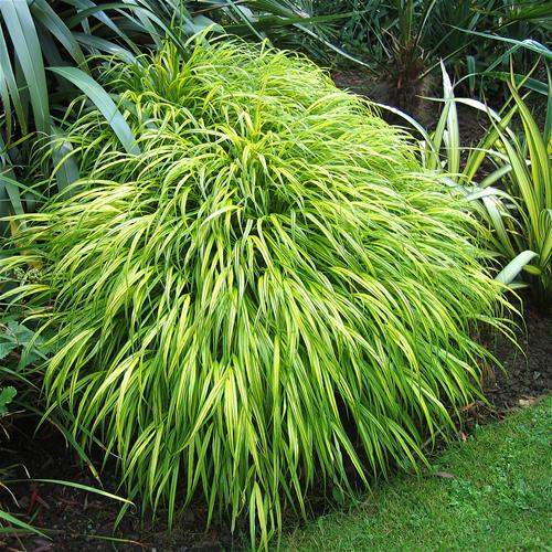 Hakonechloa macra Aureola (Japanese Forest Grass) 2009 Perennial Plant of the Year