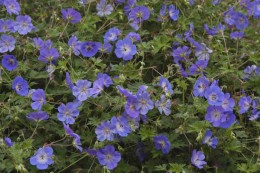 Geranium 'Rozanne,' Perennial Plant of the Year, 2008