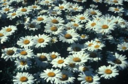 2003 Perennial Plant of the Year Leucanthemum Becky (Shasta daisy)