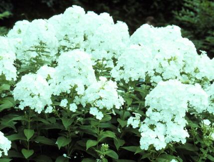 2002 Perennial Plant of the Year, Phlox David (Garden Phlox)