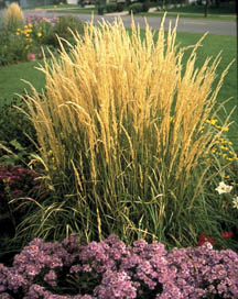 2001 Perennial Plant of the Year Calamagrostis x acutiflora Karl Foerster (Feather Reed Grass)