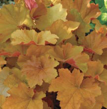 Heuchera (Coral Bells) Caramel was  a contender for the 2012 Perennial Plant of the Year.