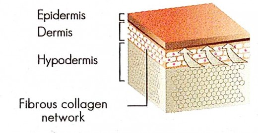 Skin Texture When Replenished With Collagen