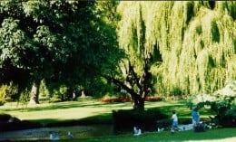 Weeping willow tree by the water where ducks are hoping for a handout.