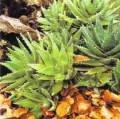 Aloe vera for healing wounds and burns (often grown in pots indoors)