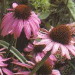 Echinacea is an immune system boost and anti-tumor