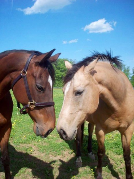 scottish highland ponies picture
