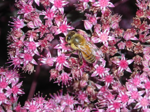 A Honeybee On A Sedum.