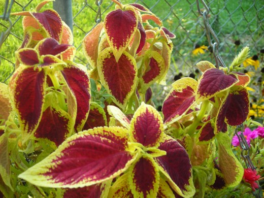 Mahoghany And Yellow-Leaved Coleus.