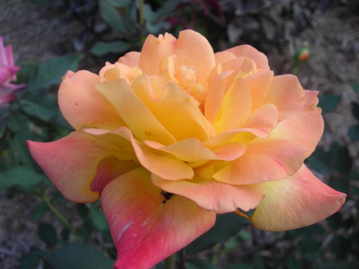 Rio Samba Hybrid Tea Rose: A Very Prolific Bloomer.