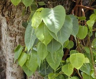 Sacred Fig