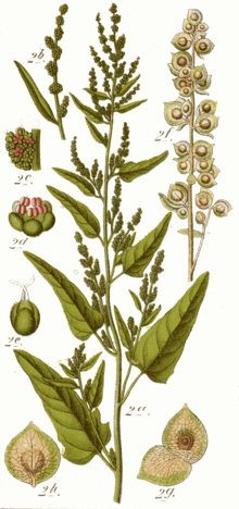 ORACH AS WILD PLANT