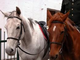 horse bridle nosebands
