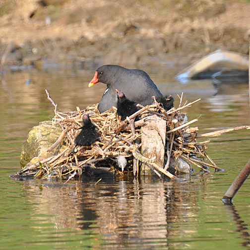 Day old moorhen chicks at the nest