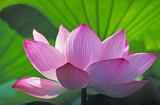 A Lotus Grows from Muddy Water