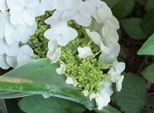 Oak Leaf Hydrangea Beginning To Bloom