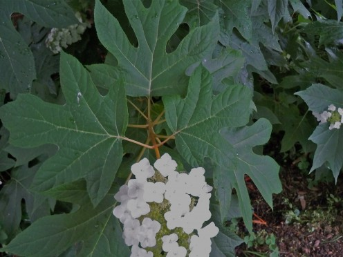 Large leaves on the Oak Leaf Hydrangea are very showy.