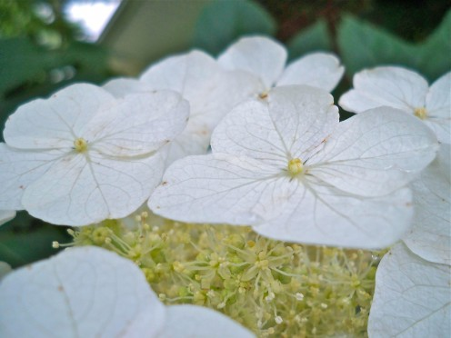 Stark white blooms.