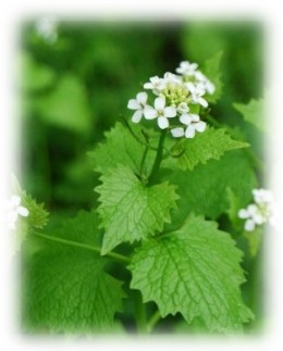 Eat Weeds - Jack by the Hedge or Garlic Mustard