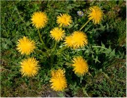 Eat Weeds - The Dandelion