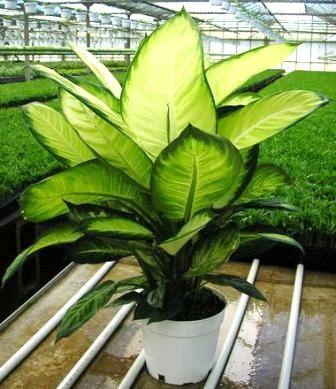 Tropic Maryann dieffenbachia