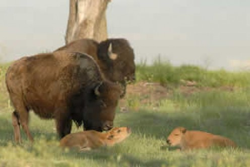 Bison adult and calves.