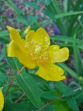 St. Johns Wort: Number 2 in a Garden Photo Series