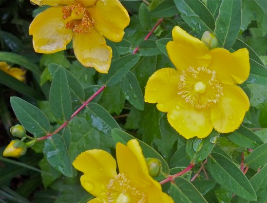 St. John's Wort Blooms Profusely