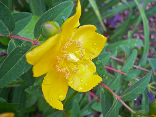 St. John's Wort Is A Richly Colored Plant