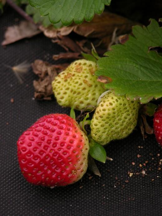 Strawberries beginning to ripen.