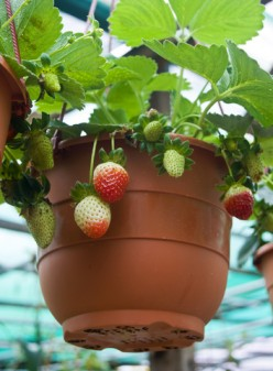 Edible Landscape Strawberries