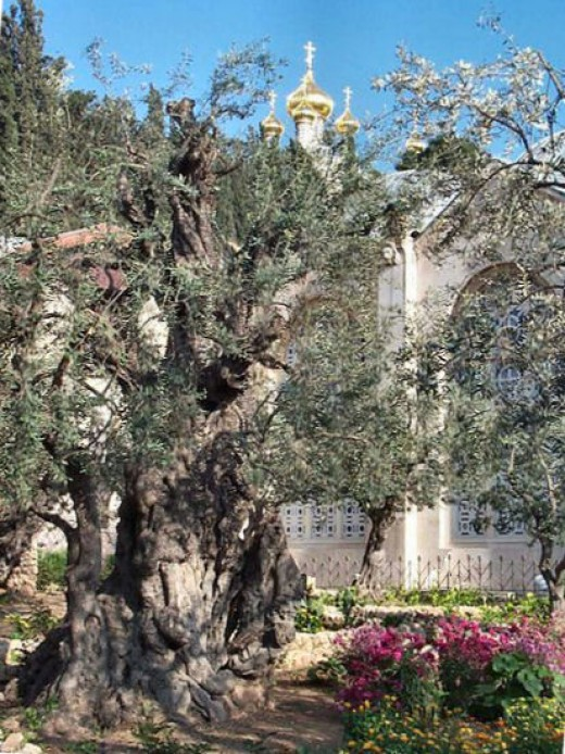 See: http://en.wikipedia.org/wiki/File:Gethsemane.jpg. I. Tricia Mason, have edited this photo.